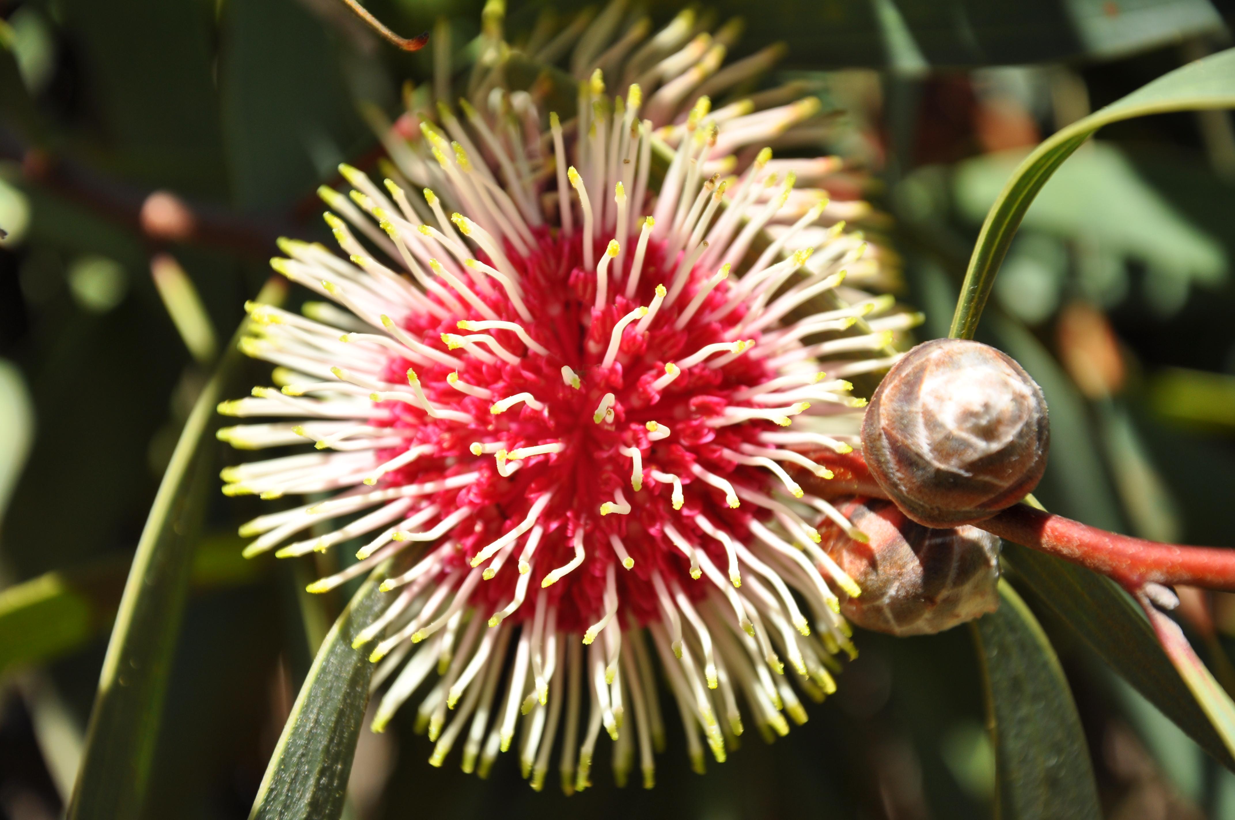 native australian flower  u2013 in my backyard